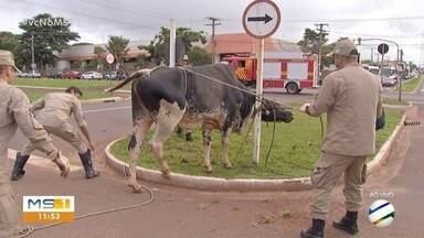 Motociclista conta como foi atacada por touro em avenida de Campo Grande - Bombeiro que fez atendimento diz que touro foi contido e eles saíram para atender outras ocorrências.