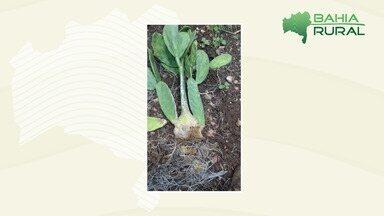 Telespectador tira dúvidas sobre plantação de palma que ele está com medo de perder - Pesquisador da Embrapa responde a pergunta; confira.