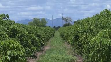 Agricultores de café para exportação tem sofrido com a baixa dos preços no mercado - Confira.