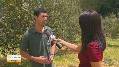 Maria da Fé deve dobrar colheita de azeitonas em 2020 - Extração de azeite é feita na cidade