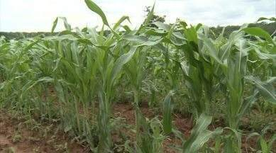Produtores de milho em Itaueira, no Sul do Piauí, estão animados com a lavoura - Produtores de milho em Itaueira, no Sul do Piauí, estão animados com a lavoura