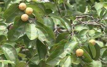 ABC do Globo Rural: Juá - O juazeiro é uma planta típica da caatinga, apesar de também viver noutras áreas.