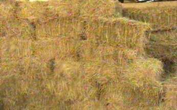 ABC do Globo Rural: Trigo - A silagem do trigo é feita muito antes de colher o grão, quando ainda há umidade.