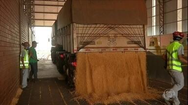 Produtores de milho de MS estocam grãos da última safra e conseguem bons negócios - Produtores de milho de MS estocam grãos da última safra e conseguem bons negócios