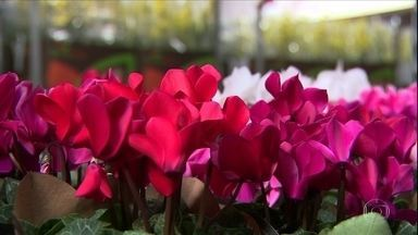 Produtores de flores amargam prejuízos por queda na demanda provocada pelo coronavírus - Na principal região produtora do país, valor do produto caiu cerca de R$ 10 por unidade.