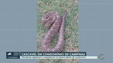 Moradores encontram cobra cascavel dentro de condomínio em Campinas - Segundo a síndica, isso já havia acontecido outras vezes devido à área de preservação próxima; animal foi devolvido à mata.