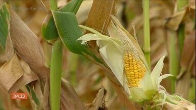 Falta de chuva no RS prejudica a agricultura e o abastecimento de água no estado - Estado enfrenta falta de chuva há quatro meses.