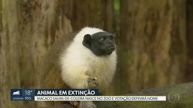 Zoológico de Brasília tem animal novo e raro - O macaco sauim-de-coleira nasceu no zoológico e terá nome definido em votação.