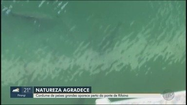 Redução de embarcações leva peixes para a superfície do Rio Grande em Rifaina, SP - Águas mais claras e calmas atraem cardumes, explica bióloga.