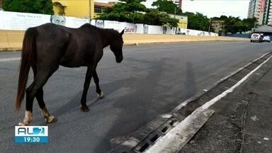 Cavalo solto leva passeia livre na ladeira Geraldo Melo - O dono do animal não foi encontrado.