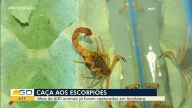 Em cinco meses, zoonoses já capturou 600 escorpiões em Itumbiara - Animal se reproduz de forma muito rápida.