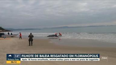 Filhote de baleia volta ao mar após 18 horas de trabalho de desencalhe em Florianópolis - Filhote de baleia volta ao mar após 18 horas de trabalho de desencalhe em Florianópolis