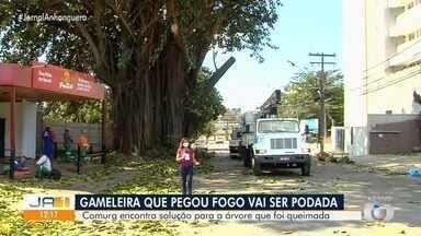 Gameleira que pegou fogo e iria ser derrubada agora passará por poda, em Goiânia - Ela poderá ser recuperada.