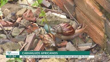 Proliferação de caramujos em terrenos baldios causa problemas a moradores do Paraviana - Eles têm se proliferado em terrenos abandonados nesse período de chuva.