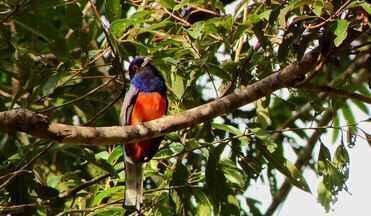 Diário de Campo te apresenta característica da ave surucuá-variado - Espécie pode ser encontrada em toda a costa brasileira e tem uma vocalização bem específica e fácil de ser imitada para atração.
