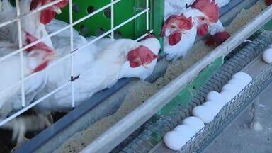IMA recebe inscrições de criadores de aves pela internet - Donos de granjas com até mil aves devem enviar documentação por e-mail.