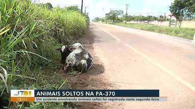 Gado solto na rodovia PA-370 faz motorista perder controle e sair da pista, em Santarém - Apesar do susto, não houve vítimas, mas o veículo ficou cerca de 70m longe da rodovia. Uma vaca teve a pata quebrada.
