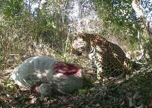 Câmera instalada perto de carcaça flagra felino se alimentando - Registros foram feitos em fazenda no Mato Grosso do Sul.