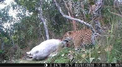 Onça-pintada arrasta presa e continua se alimentando do animal predado há dois dias - Equipe encontrou a presa e instalou equipamento próximo para captar a cena da alimentação.