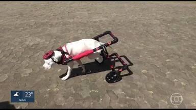 Sansão tem alta depois de passar quase 20 dias internado - Pitbull teve as patas traseiras decepadas por dois homens em Confins no dia 6 de julho.
