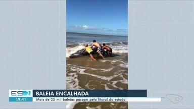 Baleia encalha em Marataízes, no Sul do ES - Veja a reportagem.