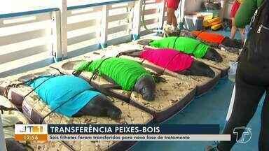 Seis Peixes-boi são transferidos de zoo para piscinas naturais no Rio Amazonas, no PA - Transferência é a segunda fase antes da soltura dos animais, que foram resgatados e reabilitados em centro especializado em Santarém.