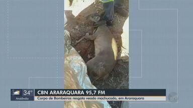 Bombeiros resgatam veado machucado em Araraquara - Milton Filho, apresentador da CBN Araraquara, conta os detalhes.