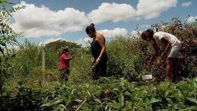 Projeto incentiva a produção de plantas medicinais em Santa do Ipanema - Iniciado há dois anos, projeto tem promovido a renda das mulheres do Sertão de AL.
