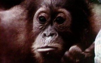 Filhote de orangotango faz pirraça - Um pequeno orangotango faz manha para receber mais carinho dos pais. Estudo feito nas selvas de Sumatra mostra que os animais possuem muitas semelhanças com os humanos.