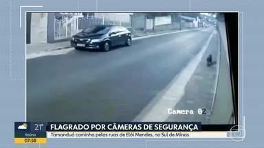 Animais são encontrados em áreas urbanas, no interior do estado - No Sul de Minas, tamanduá foi visto nas ruas de Elói Mendes e uma criança encontrou uma cobra dentro de um carro, em Guaxupé. No Triângulo Mineiro, os bombeiros capturaram duas cobras.