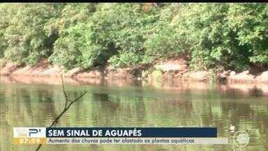 Aumento das chuvas pode ter afastado aguapés no Rio Poti - Aumento das chuvas pode ter afastado aguapés no Rio Poti