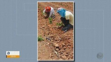 Projeto da Epamig tenta implantar a cultura do café conilon no Sul de Minas - Projeto da Epamig tenta implantar a cultura do café conilon no Sul de Minas