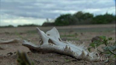 Estiagem preocupa criadores de gado do Pantanal de Mato Grosso - Em uma fazenda da região, por exemplo, o pecuarista Breno Dorileu perdeu de 20 a 30 cabeças.