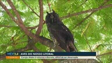 Conheça a Coruja-diabo, ave que habita o litoral do Paraná - Mocho do diabo, como também é chamada, tem hábitos noturnos e discretos, difícil de ser observada.
