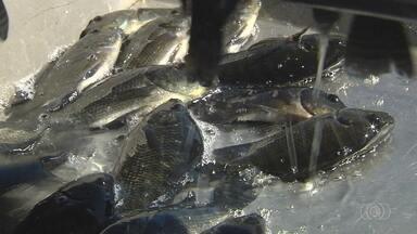 Período da Quaresma é bom para piscicultores - Consumo de carne vermelha cai nessa época e o de peixe aumenta.