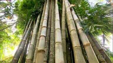 Reveja reportagem sobre a versatilidade do bambu - Planta é usada para produzir móveis, bicicletas e até prótese. No Brasil, empresas, ONGs e agricultores aproveitam matéria-prima para gerar mais renda no campo.