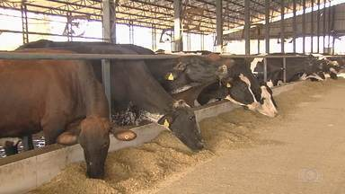 Alta no preço do milho preocupa pecuaristas - Grão é usado na alimentação de animais.