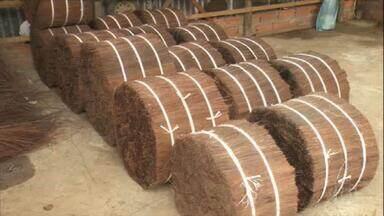 Conheça a extração da piaçava, fibra natural retirada de uma palmeira nativa - Usada há séculos no Brasil, sua produção é maior no Sul da Bahia, onde um agricultor faz um cultivo racional voltado para comercialização. Reveja reportagem especial.