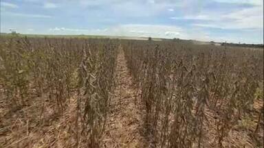 Globo Rural – Edição de 14/03/2021 - O programa vai mostrar os estragos das chuvas nas colheitas de soja em MT e como os produtores de milho estão investindo mais na cultura este ano, mesmo com o atraso no plantio, por causa da alta de preço. Tem ainda os bons preços do feijão no Paraná e a reexibição do trabalho do artista Almir Sater como criador de gado.