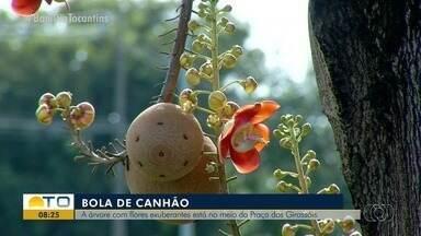 Árvore bola de canhão é uma das espécies encontradas na Praça dos Girassóis - Árvore bola de canhão é uma das espécies encontradas na Praça dos Girassóis