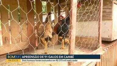 Polícia Ambiental apreende galos em situação de maus tratos - 91 animais que seriam usados em rinhas foram encontrados.