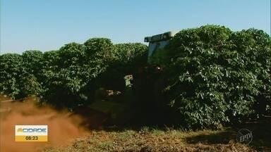 Produtores se preparam para a colheita do café no Sul de Minas - Produtores se preparam para a colheita do café no Sul de Minas