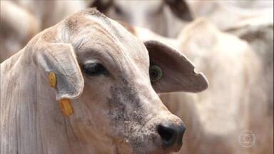 Globo Rural – Edição de 09/05/2021 - O programa vai mostrar as técnicas de criação do Boi 777, que ajudam o animal a ganhar peso, aumentando a produtividade no campo. Tem ainda a vacinação do rebanho contra a febre aftosa em MS, o plantio do feijão em Pernambuco e mais.