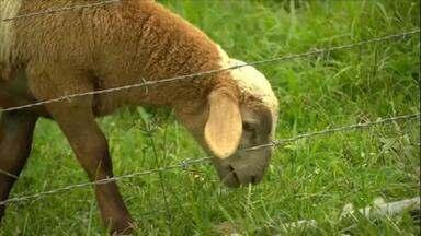 Veja dicas de como construir uma cerca para ovelhas - Veja dicas de como construir uma cerca para ovelhas
