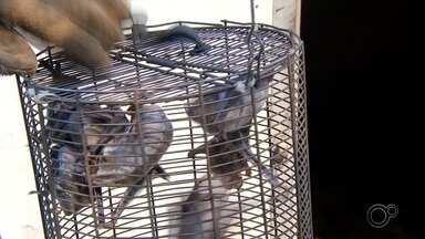 Cabreúva registra surto de raiva em animais - Cabreúva (SP) registrou um surto de raiva animal. Neste ano, nove animais morreram, entre cavalos e bois. A Secretaria de Agricultura do Município e a Defesa Agropecuária fizeram vistorias pela cidade em busca de morcegos, o principal transmissor da raiva.
