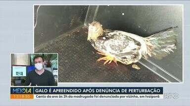 Galo é apreendido pela PM após reclamação de perturbação de sossego - Morador de Ivaiporã denunciou ave do vizinho por canto durante a madrugada.