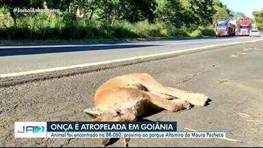 Onça morre atropelada na BR-060 em Goiás - Espécie suçuarana corre risco de entrar em extinção.