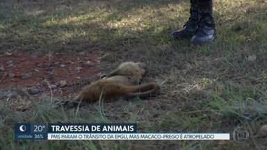 Macaquinhos tentam atravessar via movimentada, mas um deles morre! - O casal de macacos recebeu ajuda da polícia pra bloquear o trânsito, mas a fêmea foi atropelada.