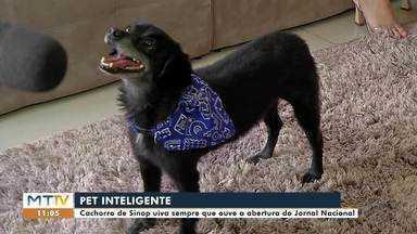 Cachorro de Sinop fã do Jornal Nacional - O cãozinho super inteligente uiva sempre que ouve a vinheta do jornal