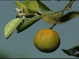 Globo Rural: Em 2013, já era possível ver a diminuição de casos do amarelinho nas lavouras de laranja